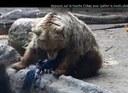 Un ours sauve un corbeau