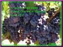 Vraie vigne
