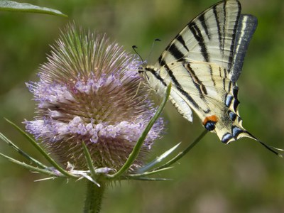 Papillons butinage